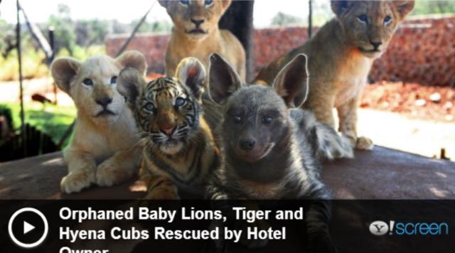 Lions_,_Tiger_,_Hyena