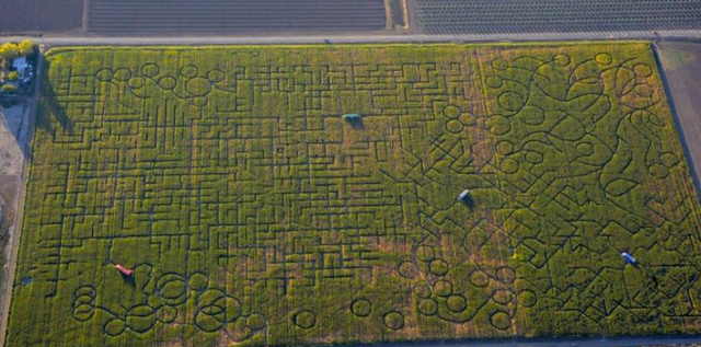Cool Patch Corn Maze
