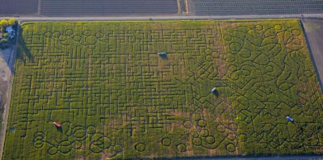 Cool Patch Corn Maze